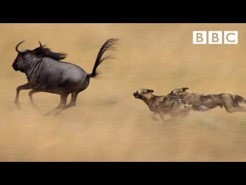 The power of the pack! Wild dogs' AMAZING relay hunting strategy | Life Story - BBC