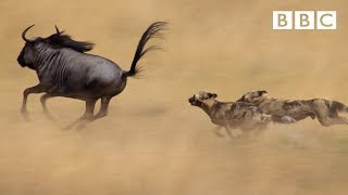 The power of the pack Wild dogs39; AMAZING relay hunting strategy  Life Story  BBC
