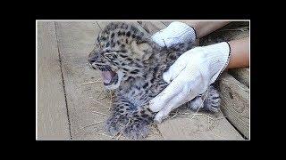 Котята дикого дальневосточного леопарда впервые за 60 лет родились в неволе