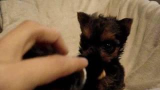 Izzy 8 Weeks Old Yorkie/maltese Mix Puppy
