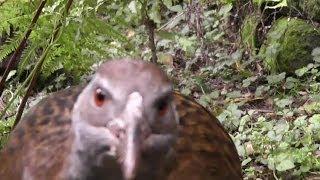 Weka Vs. Camera (Another Flightless New Zealand Bird)