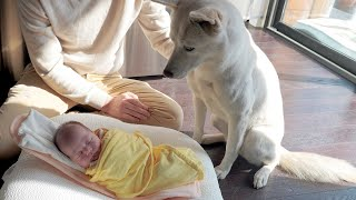 My Dogs Meet Human Baby Sis for the First Time | Jindo Dog Vlog