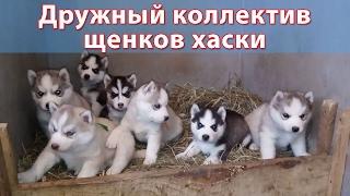 Дружный коллектив щенков хаски из Москвы