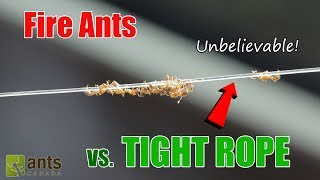 Fire Ants Walking the Tight Rope