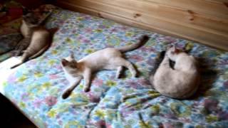 Улётное видео! Очень ласковая мурлыка ищет хорошие ручки! Тайские кошки - это чудо! Funny Cats