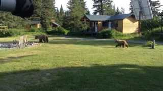 Grizzly Bear Mother and Cubs Stroll Through Lodge Grounds and Scratch Their Backs