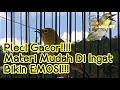 Masteran Pleci Nembak Variasi Mudah Di Ingat  Mp3 - Mp4 Download