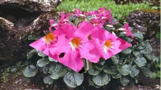 видео Инкарвиллея (Садовая глоксиния)