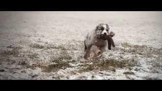 Zoey the Australian Shepherd Blue Merle puppy