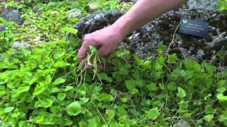 How To... Cut Back & Prune Alpine Campanulas