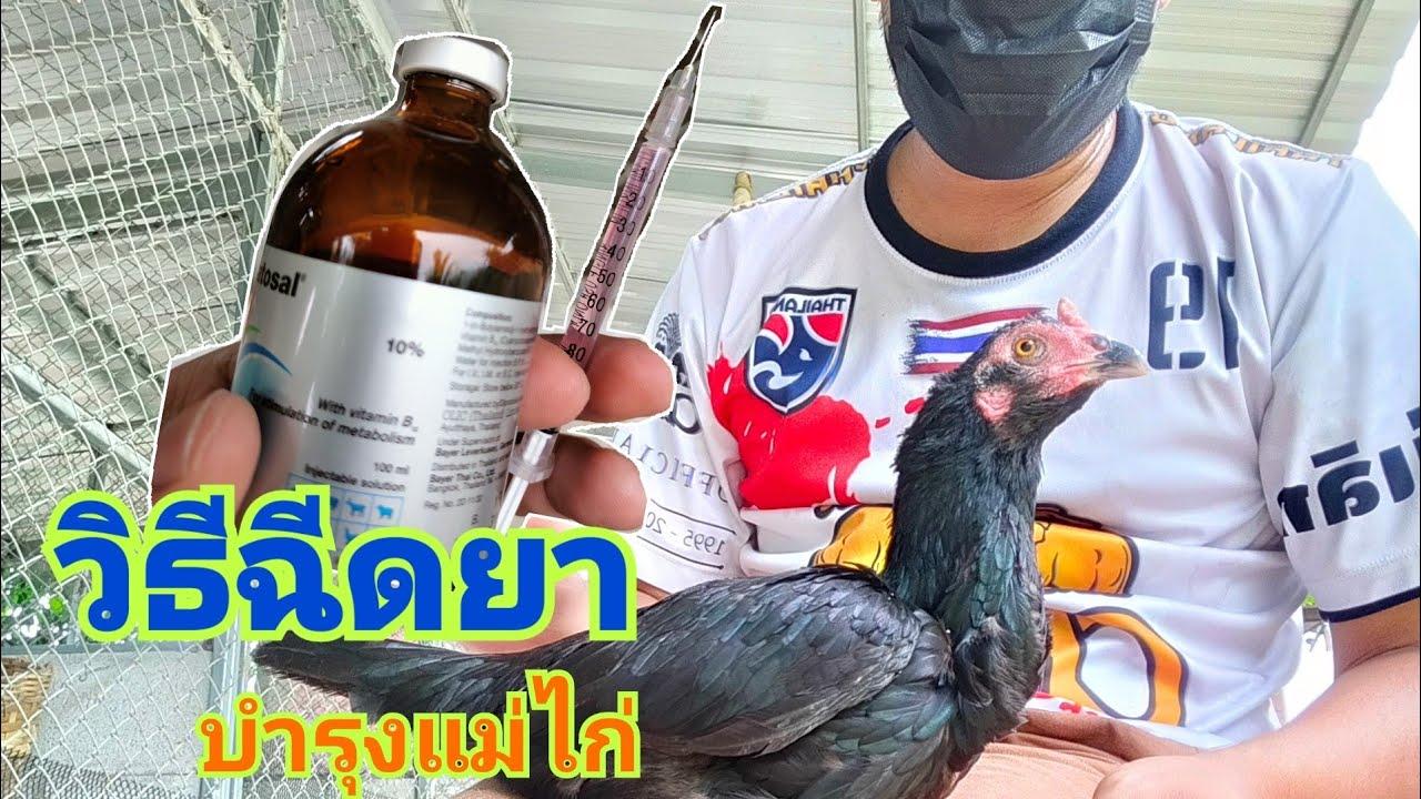 วิธีฉีดยาบำรุงแม่ไก่ เพื่อเตรียมผสมใหม่ ลองชมกันครับ