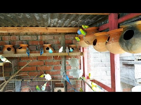 50 Pair Budgerigar For Sale In Bangladesh
