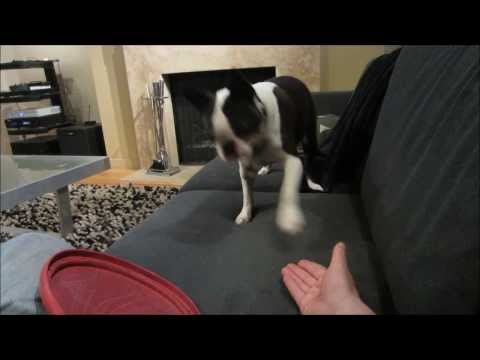 Rudy, The Boston Terrier, Demands A Game Of Fetch