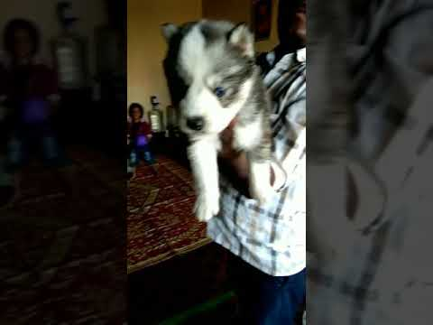 SIBERIAN HUSKY 🐾 pups  for sale Lowest price in GUJRAT best quality breed all India delivery