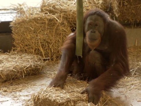 Orangutan at Indianapolis Zoo inspires study sparking discovery on evolution of language