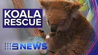 Survival ofkoala population threatened by bushfires | Nine News Australia