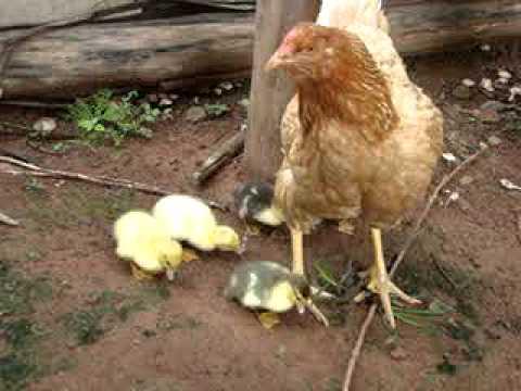 galinha choca e cria patos youtube
