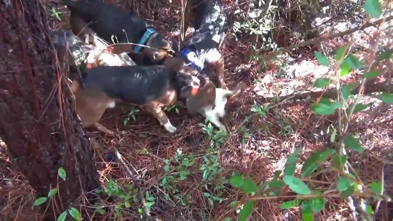 Benson's Kennel Beagles Running Swamp Rabbit