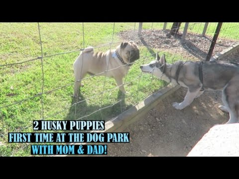 2 SIBERIAN HUSKY PUPPIES FIRST TIME AT THE DOG PARK WITH THEIR MOM & DAD!