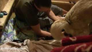 Siberian Husky Screams Giving Birth While Standing!