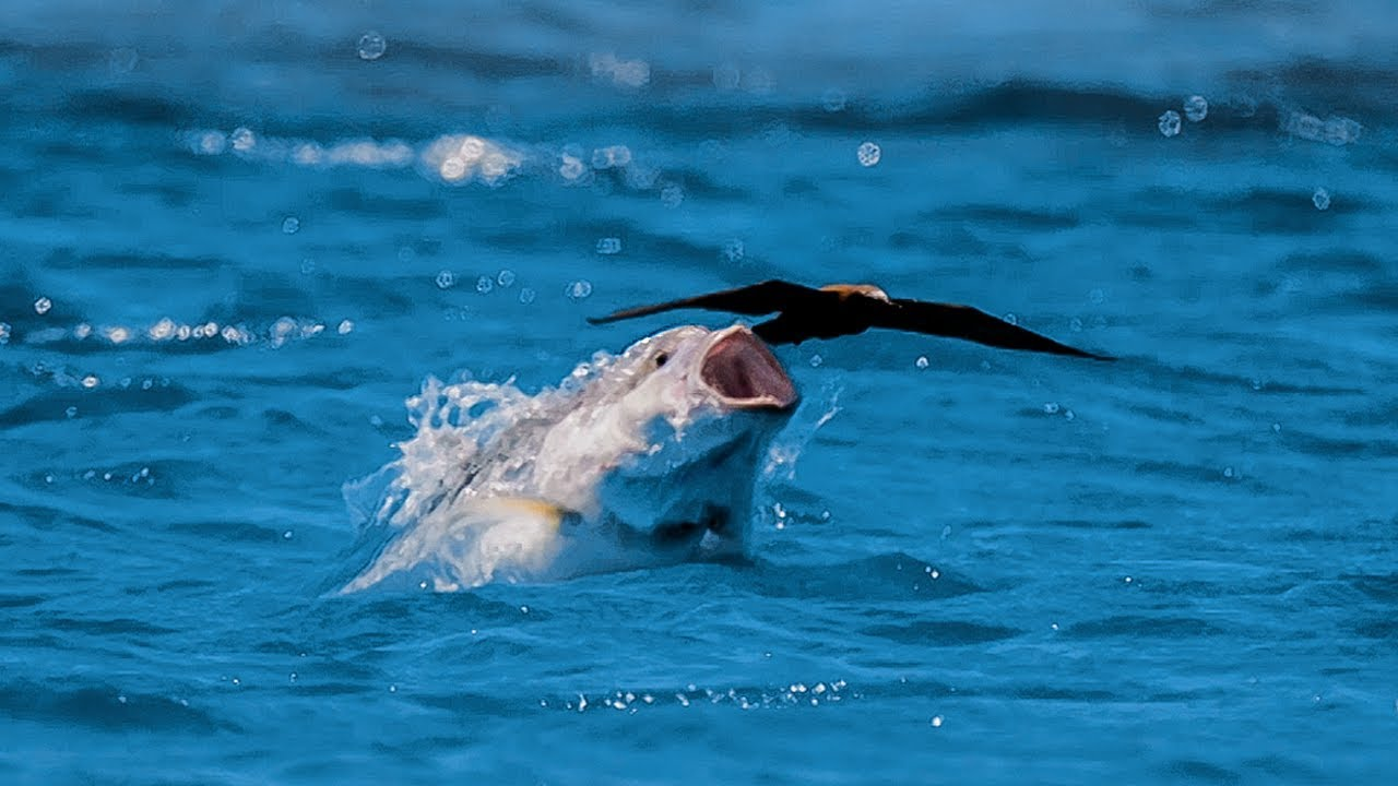 Image result for fish catching birds blue planet