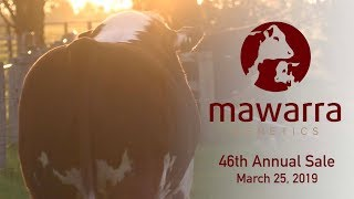 Mawarra Genetics 2019 Sale Results