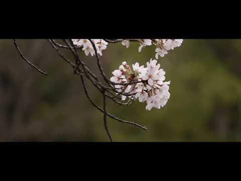 【音楽のみの風景動画】曇り空、石神井公園の桜 Cherry blossom on a cloudy day, Shakujii Koen, Tokyo. (Camera Test LUMIX G6)
