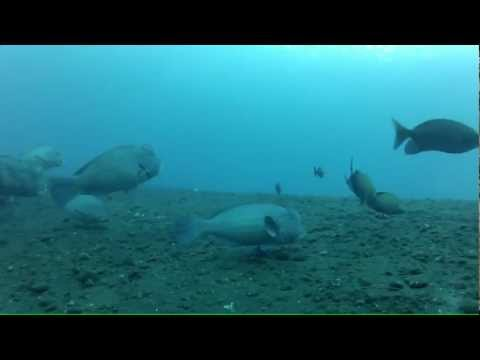 Humphead Parrotfish, Scuba Diving At USAT Liberty, Tulamben, Bali (16m) 07/05/12 - GoPro HD Hero2