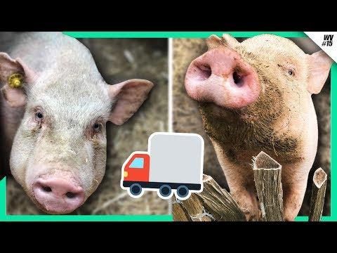Unsere Schweine ziehen um