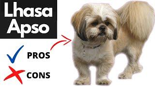 Pros y contras de Lhasa Apso | ¡¡El bueno y el malo!!