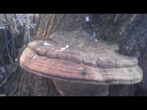 Artist's Conk (Ganoderma Applanatum) Polypore