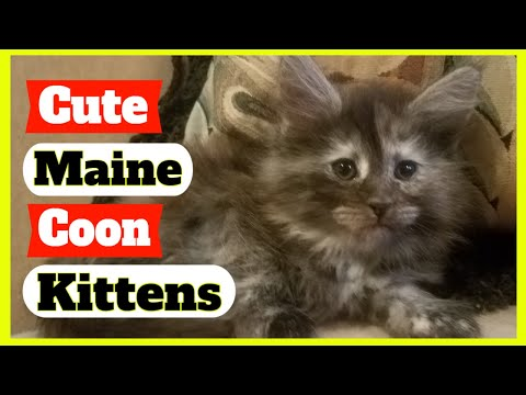 Maine Coon Kittens - Cute Maine Coon Kittens Video