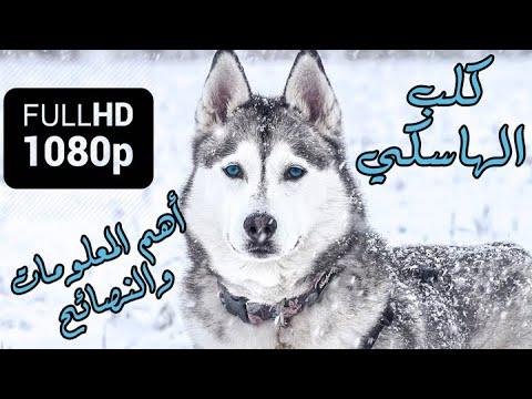 كلب الهاسكي | اهم المعلومات والنصائح !! HD