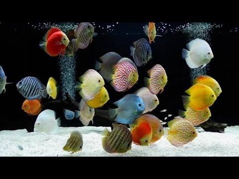 3-jenis-ikan-discus-tercantik-dan-termahal-di-dunia
