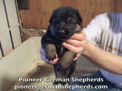 German Shepherd puppies for sale - German Shepherds for sale from Pioneer German Shepherds