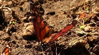 هذا الصباح- مخاطر تواجه هجرة الفراشات الملكية