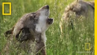 How Did Wolves Evolve? | National Geographic