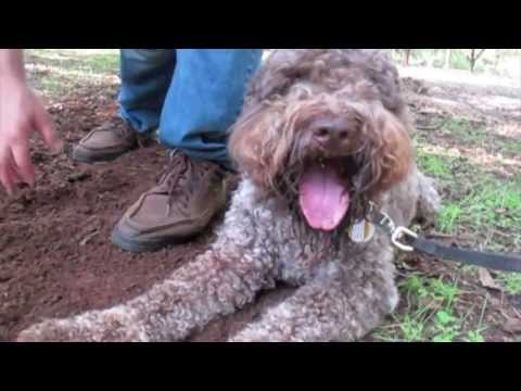 Gateau Babylagotto Digs Truffles In Georgia Pecan Orchards