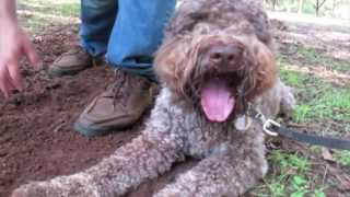 Gateau Baby—lagotto Digs Truffles In Georgia Pecan Orchards
