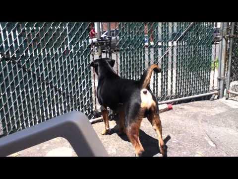 vicious dog barking