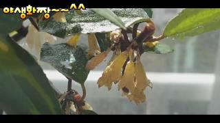 키우기 짱쉽고 열매가 열리는 무늬보리수.베란다정원야생화…