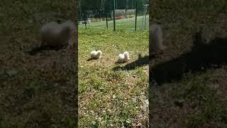 Презентация щенков шпица