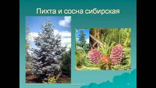 Презентация Голосеменные растения