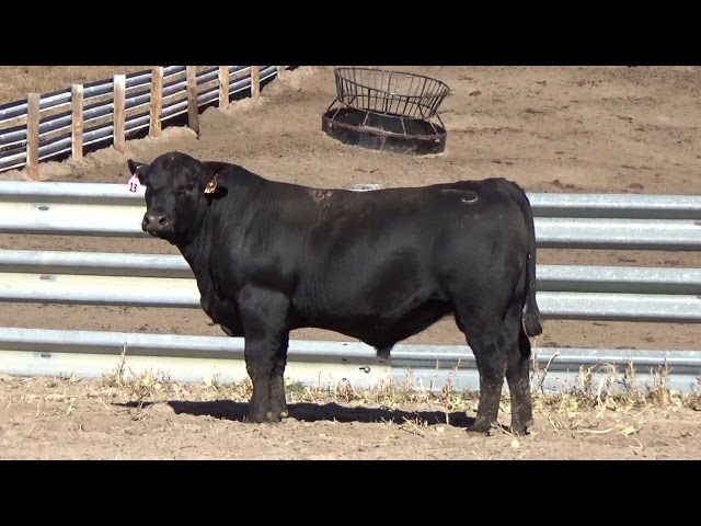 Connealy Angus Lot 13