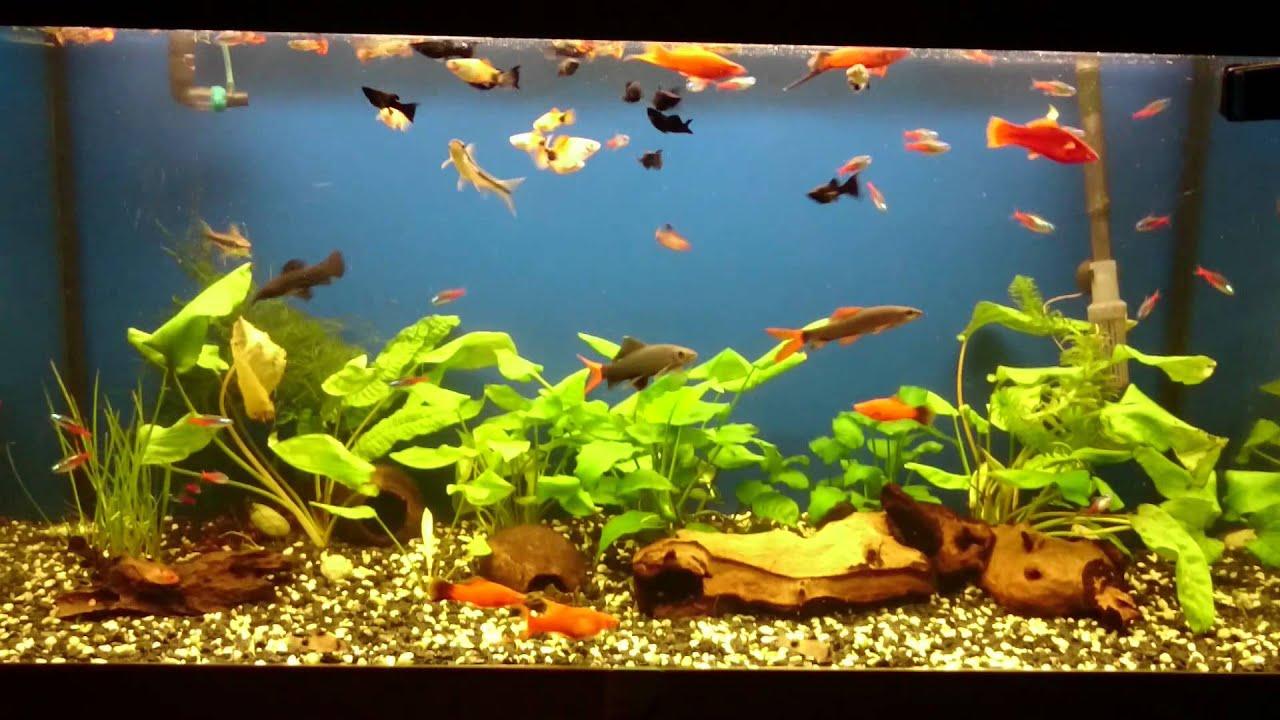 Aquarium Mix Mecovky Guppy Black Molly Platy Youtube