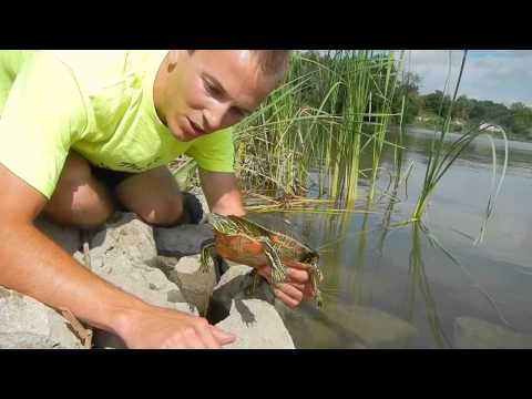 Wildimpact: Northern Painted Turtle Catch