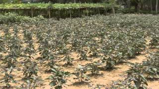 Sucessful Zero Pesticide BT Brinjal (Eggplant) Farming in Gazipur, Bangladesh