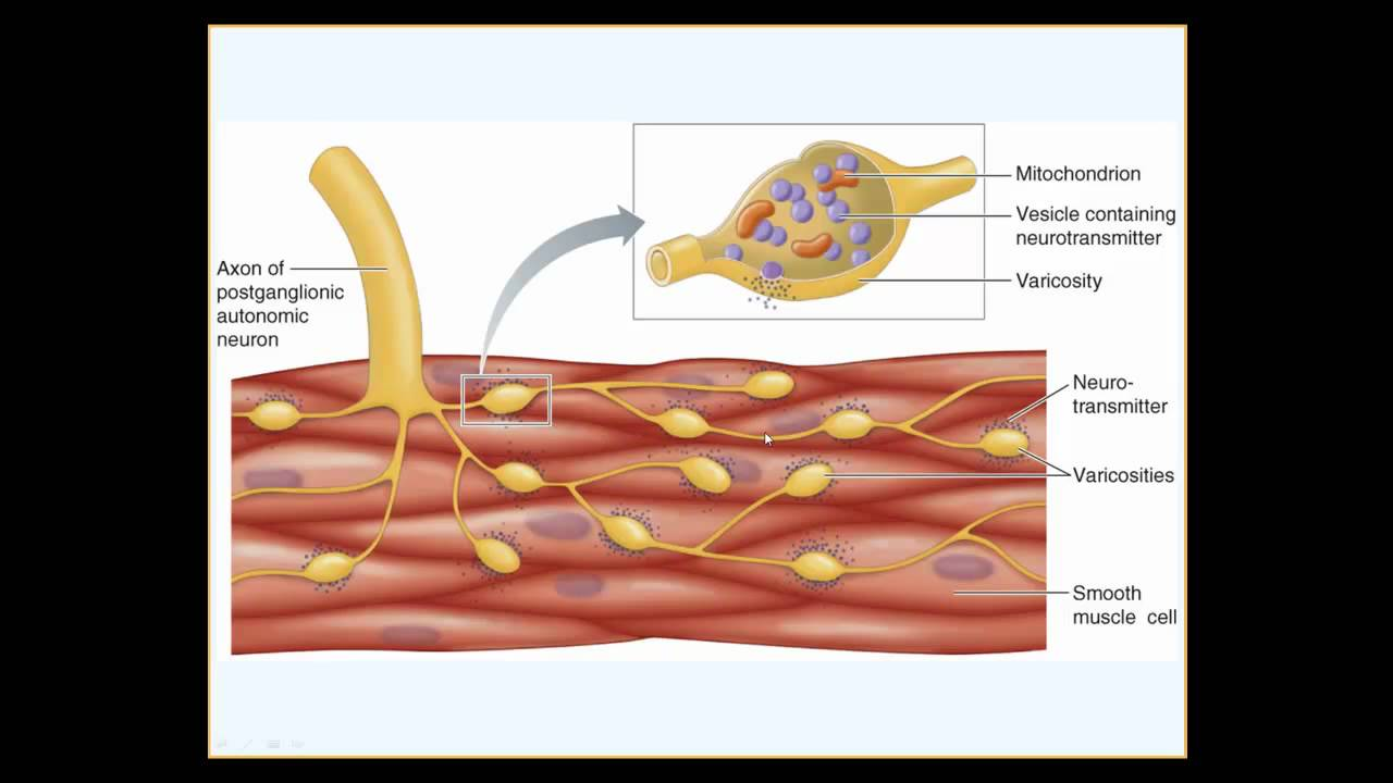 Smooth Muscle Physiology Youtube