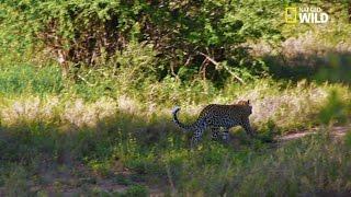 Un léopard surgit de nulle part !