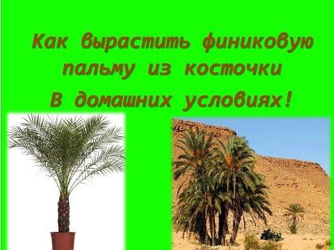 Домашняя финиковая пальма из косточки в домашних условиях